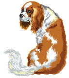 Chestnut cavalier king charles spaniel Stock Photos