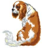 Chestnut cavalier king charles spaniel. Blenheim cavalier king charles spaniel, lap dogs breed, image isolated on white vector illustration