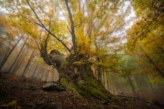 The chestnut. A centenary chestnut inside a forest of Avila,in the center of Spain stock photo