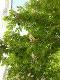 Chestnut. Tree in Kyiv stock photos