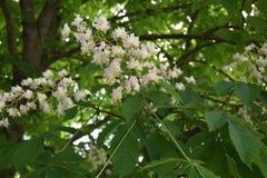 Chestnut. The chestnuts flourished Royalty Free Stock Photo