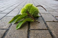 Chestnut in city. Chestnut fruits in street in a rainy day Royalty Free Stock Image