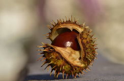Chestnut closeup in the shell. Tree chestnuts in the park closeup in the nutshell Royalty Free Stock Images