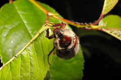 Chestnut cockchafer on cherry Stock Photography