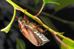 Chestnut cockchafer on cherry Stock Image
