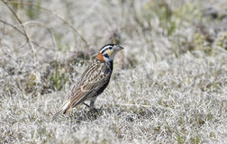Chestnut-collared Longspur on the National Grasslands Royalty Free Stock Photo