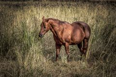 Chestnut color horse in grassy field. Stock Image