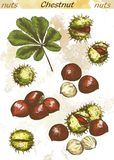 Chestnut color. Chestnut set of color vector sketches on an abstract background Royalty Free Stock Photo