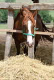 Chestnut colored horse feed morning at animal farm Stock Image