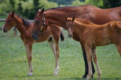 Chestnut Colored Horse Mom with Two Foals. This horse family is enjoying a great day in the sun, only one of the foals is curious about what is going on to his Stock Photo