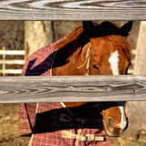 Chestnut colored horse. Staring thru fence Stock Photo
