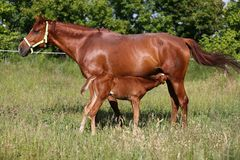 Beautiful young warmblood mare breastfeeding her newborn foal on Royalty Free Stock Photography