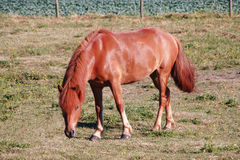Chestnut Colored Mare Royalty Free Stock Photography