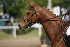 Chestnut colored purebred beautiful jumping horse canter on show. Show jumper horse galloping on racetrack with braided mane royalty free stock photography