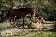 Chestnut colored wild horse mare paws at her young colt Stock Photography