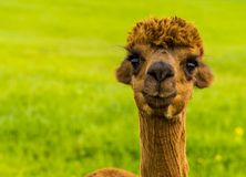Chestnut coloured Alpaca Stock Photos