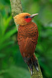 Chestnut-coloured Woodpecker, Celeus castaneus, brawn bird with red face from Costa Rica Royalty Free Stock Photography