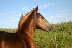 Chestnut Colt. On hillside in late afternoon sunshine Royalty Free Stock Photo