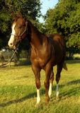 Chestnut Colt Royalty Free Stock Image