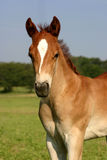 Chestnut Colt. With marking on face, standing in green pasture in morning sunshine Stock Images