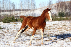 Chestnut colt galloping in winter Stock Image