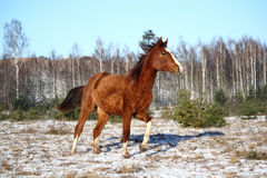 Chestnut colt galloping in winter Stock Images