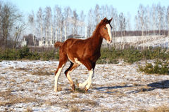 Chestnut colt galloping in winter Royalty Free Stock Photo