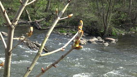 Chestnut conker tree twig buds and flowing water. 4K. Chestnut conker tree twig buds and flowing river water reflections on background in early spring. Static stock video footage