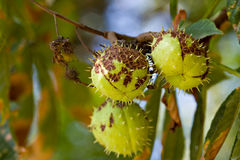 Chestnut conkers in nature Stock Image