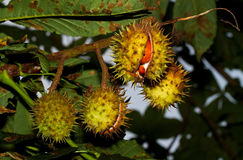 Chestnut conkers Royalty Free Stock Images