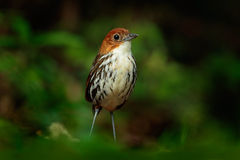 Chestnut-crowned antpitta, Grallaria ruficapilla, rare bird from dar forest in Rio Blanco, Colombia Royalty Free Stock Photos