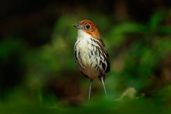 Chestnut-crowned antpitta, Grallaria ruficapilla, rare bird from dar forest in Rio Blanco, Colombia Royalty Free Stock Images