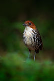 Chestnut-crowned antpitta, Grallaria ruficapilla, rare bird from dark forest in Rio Blanco, Colombia. Birdwatching in South Americ Stock Image