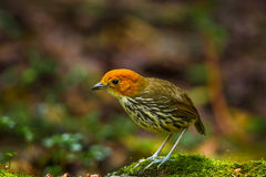 Chestnut Crowned Antpitta Stock Images