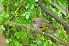 Chestnut-crowned Laughingthrush Royalty Free Stock Photos