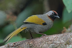 Chestnut-crowned Laughingthrush Stock Photography