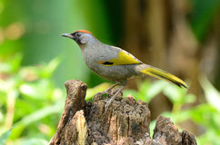 Chestnut-crowned laughingthrush Royalty Free Stock Image