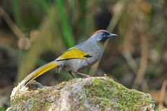 Chestnut-crowned Laughingthrush Royalty Free Stock Photography