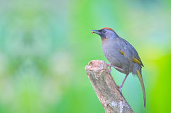 Chestnut-crowned Laughingthrush bird Royalty Free Stock Photo