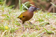 Free Chestnut-crowned Laughingthrush Bird Walking On The Ground At Fr Royalty Free Stock Photo - 108423675