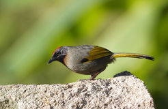 Chestnut-crowned Laughingthrush Garrulax erythrocephalus Royalty Free Stock Photos