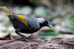 Chestnut-crowned Laughingthrush Garrulax erythrocephalus Royalty Free Stock Image