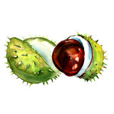 Chestnut with crust isolated on a white background Royalty Free Stock Photography