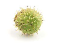 Chestnut with crust Stock Photography