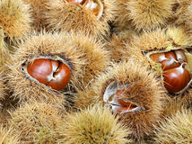 Chestnut cupules and brown chestnut in the basket in autumn Royalty Free Stock Photos