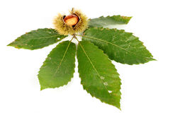 Chestnut curls and the leaves. On white background Royalty Free Stock Images