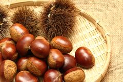 Chestnut. Curly and brown s Royalty Free Stock Photos
