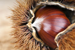 Chestnut and curly Stock Photography