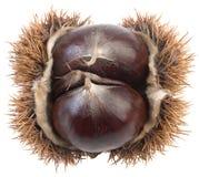 Chestnut Cutout Stock Photos