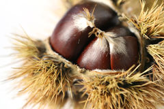 Chestnut - detail. Castanea sativa - European chestnut fruit Stock Photography